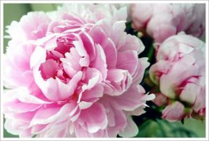 mylusciouslife.com -  pink-peony-from-a-bloom-in-time-net.jpg
