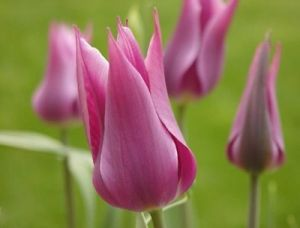 pink tulips - Living lusciously.jpg