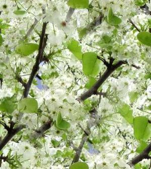The colour green - myLusciousLife.com - cherry blossom.jpg