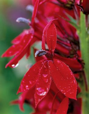Countryliving.com - A Garden in Puget Sound - red Cardinal Flower.jpg