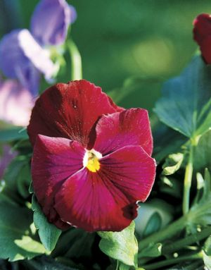 Red images - Countryliving.com - Red Banner Pansy.jpg